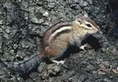 Natural Chipmunk Control