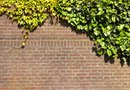 How Much Does English Ivy Grow in a Year?
