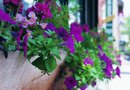 The Best Petunias for Flower Boxes