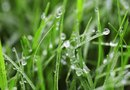 How Often Should Grass Be Watered After it Is Fertilized?