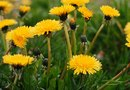 What Kills Dandelions in Lawns?
