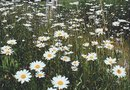 How to Germinate Seeds From English Daisies