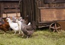What Makes a Chicken Free-Range?