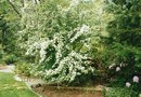 How to Trim Hawthorne Shrubs