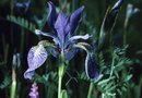 How to Care for a Virginia Blue Flag Iris