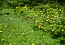 How to Control Early Spring Lawn Weeds