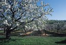 What Month Does a Peach Tree Bloom?