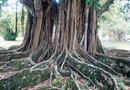 Facts on the Strangler Fig Tree