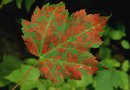 Brown Spots on Maple Tree Leaves