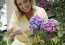 How to Move Hydrangea Plants