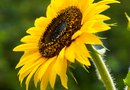 How to Deadhead Sunflowers