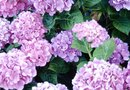 How to Change Blue Hydrangeas to Purple