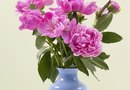 When to Pick Peonies