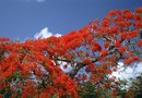How to Transplant Delonix Regia