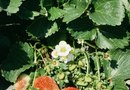 When Is the Best Time to Pick Wild Strawberries?