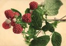 How to Identify Red Raspberry Bushes & Leaves