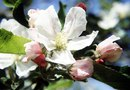 How to Spray Apple Blossoms