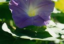 How to Induce Flowering in Morning Glories