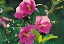 Common Problems With Hollyhock Plants