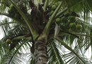 Coconut Palm After a Freeze