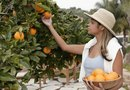 Taking Oranges off an Orange Tree