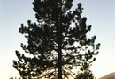 Help for Diseased Pine Trees