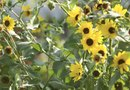 Black-Eyed Susan Vine Pests