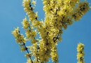 Varieties in Small Forsythia Bushes