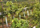 Concord Grape Trellis Training
