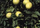 Difference in Meyer & Eureka Lemon Trees