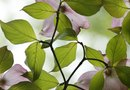 How to Grow Dogwoods From Seeds