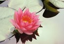 How to Propagate Water Lily by Seed