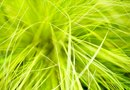 Low Evergreen Grasses