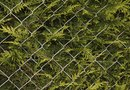 What Is a Good Evergreen Tree or Tall Shrub for a Privacy Fence?