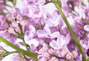 How to Prune Miniature Lilacs