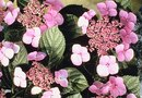 """How to Grow """"Endless Summer"""" Hydrangeas"""