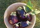 The Best Eggplant to Plant