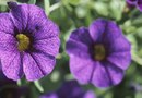 What Causes Small Flowers on Petunias?