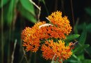 Is the Butterfly Bush Drought Tolerant?