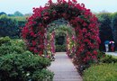 When to Fertilize Climbing Roses