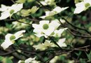 How to Grow Flowering Dogwood Trees From Seed