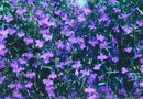 What Is the Transplanting Date for Lobelia?