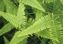 How to Transplant an Overgrown Boston Fern