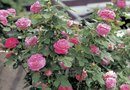 Companion Plants That Really Keep Aphids Away From Roses