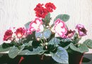How to Plant Gloxinia