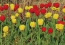 Will Tulip Bulbs Bloom the First Year?