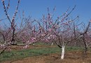 How to Prune 1st Year Fruit Trees