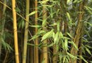 Growing Bamboo in My Backyard