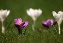 How to Plant a Crocus in a Lawn