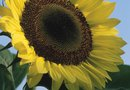 How to Prune Sunflowers